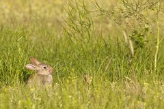 Bunny in the grass 1 Royalty Free Stock Image