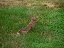 Bunny in the Grass Stock Photos