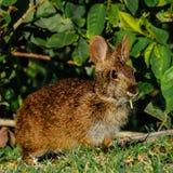 Bunny With Grass voor Ontbijt Stock Afbeeldingen