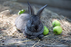 Bunny with green apples Stock Images