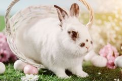 Bunny hopping out of Easter basket. On the grass. Easter Christian traditions, spring holiday royalty free stock photos