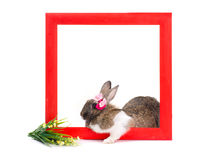 Bunny inside red wooden frame Stock Images