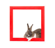 Bunny inside red wooden frame Royalty Free Stock Image
