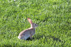 Bunny on lawn Stock Photography