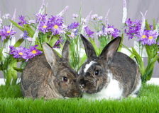 Bunny love. Pair of bunnies, gray and white and brown sitting in green grass in front of a white picket fence with purple flowers by a gray wall Royalty Free Stock Photography