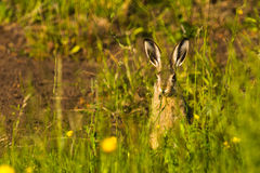 Bunny on a meadow Royalty Free Stock Image