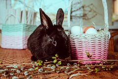 Bunny near basket with eggs. Black fluffy bunny near basket with eggs royalty free stock image