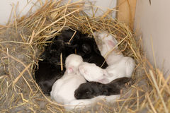 Bunny nest. Nine small rabbits in bunny nest royalty free stock image