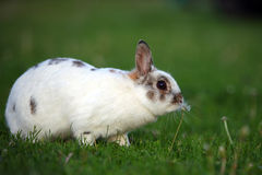 Bunny Nibbling Royalty Free Stock Images