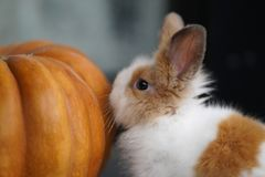 Little Bunny And Orange Pumpkin royalty free stock image