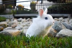 Bunny playing in the grass. Cute white bunny playing in the grass, with rocks piled in the background royalty free stock image