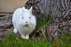 Bunny playing in the grass. Cute white bunny looking at the camera while playing in the grass around a tree trunk stock photo