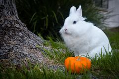 Bunny playing in the grass with a pumpkin. Cute white bunny playing in the grass around a tree trunk, with a pumpkin on the tree roots stock images