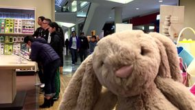 Bunny playing inside Chapters bookstore. stock video