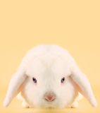 Bunny rabbit. Angry looking Easter bunny rabbit Royalty Free Stock Images