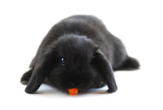 Bunny rabbit. Black holland lop bunny rabbit eating a carrot isolated on white background Royalty Free Stock Photos