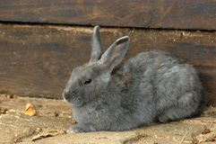 Bunny Rabbit. A cute little and beautiful Easter bunny rabbit in grey resting and watching other animals on the farm Stock Photos