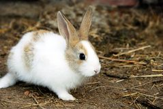 Bunny Rabbit. One adorable young white bunny rabbit outdoors Royalty Free Stock Photos