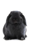 Bunny rabbit. Black holland lop bunny rabbit isolated on white background Stock Image