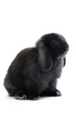 Bunny rabbit. Black holland lop bunny rabbit isolated on white background Stock Photos