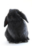 Bunny rabbit. Black holland lop bunny rabbit isolated on white background Stock Images