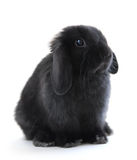 Bunny rabbit. Black holland lop bunny rabbit isolated on white background Royalty Free Stock Photo