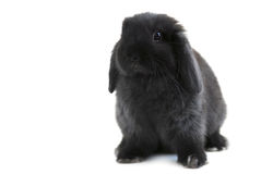 Bunny rabbit. Black holland lop bunny rabbit isolated on white background Stock Photography