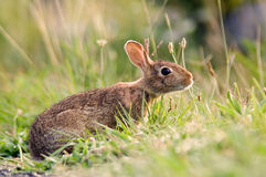 Bunny Rabbit. An alert bunny rabbit in the grass royalty free stock image