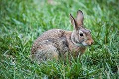 Bunny Rabbit Fotografering för Bildbyråer
