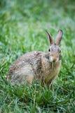 Bunny Rabbit Stock Afbeeldingen
