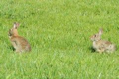 Bunny Rabbit Fotos de archivo