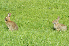Bunny Rabbit fotos de stock