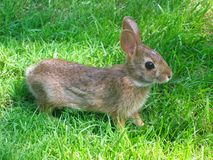 Bunny Rabbit. A small bunny rabbit in green grass Stock Photo