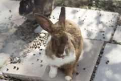 Bunny rabbit on animal farm Royalty Free Stock Photography