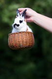 Bunny rabbit in basket Royalty Free Stock Photo