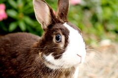 Bunny rabbit with blue eyes Stock Photography