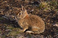 Bunny Rabbit Camoflaged selvagem Imagem de Stock Royalty Free