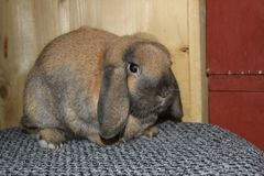 Bunny rabbit dwarf lop male brown and black royalty free stock images