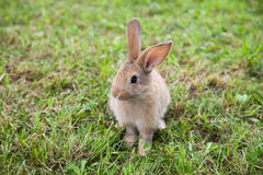 Bunny rabbit on the grass Royalty Free Stock Photography