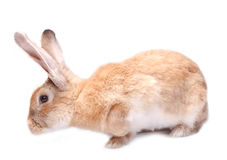 Bunny rabbit isolated red on white background sits Royalty Free Stock Photos