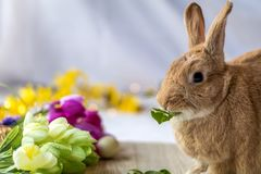 Bunny rabbit munches on fresh spinach leaves surrounded by flowers for spring and Easter Royalty Free Stock Photography