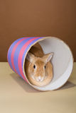 Bunny rabbit posing in a tube in a studio against a cream and brown setting Stock Image