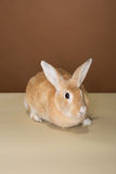 Bunny rabbit posing in a tube in a studio against a cream and brown setting Royalty Free Stock Image