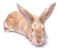 Bunny rabbit red isolated on white background sits Royalty Free Stock Photography