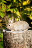 Bunny rabbit sitting on a tree stump Royalty Free Stock Image
