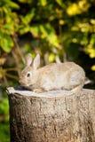 Bunny rabbit sitting on a tree stump Royalty Free Stock Image