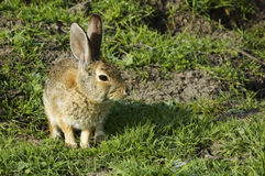 Bunny rabbit sitting and waiting Royalty Free Stock Photo