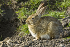 Bunny rabbit sitting and waiting Royalty Free Stock Images