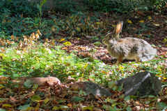 A bunny rabbit in the sun, ready to bolt. Royalty Free Stock Photos