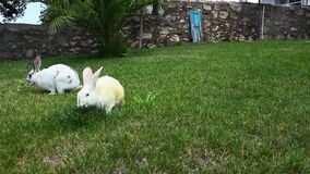Bunny Rabbits Eating Together stock footage